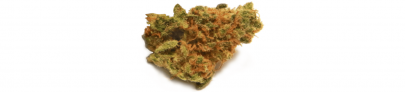 Great White Shark Indica | Royal High