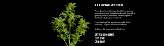 Vision Sativa | Qwest We Grow BC