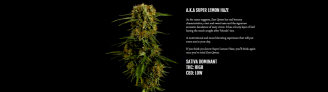 Zest a.k.a. Super Lemon Haze Sativa | Qwest